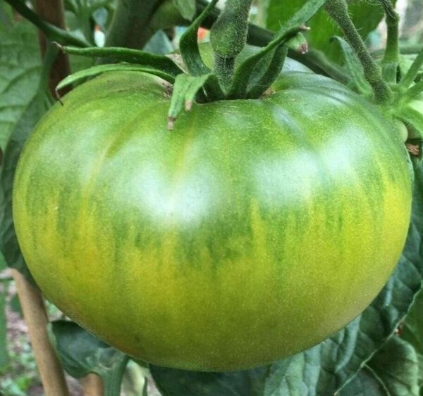 A large Aunty Ruby Green Tomato hanging from the vine