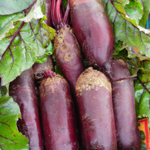 A bunch of Cylindra Beetroots just picked from the garden
