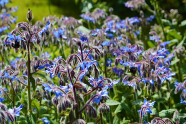 Borage in the garden with bright blue flowers
