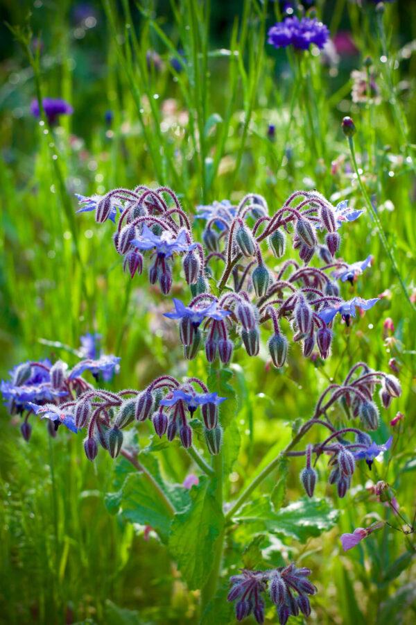 Borage plant in flower