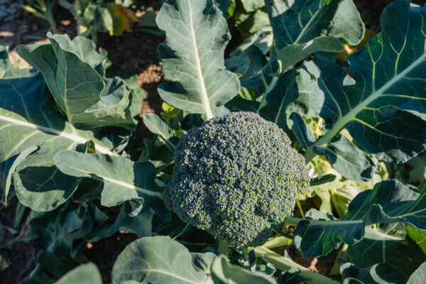 Di Cicco Early broccoli on the stalk still in the garden