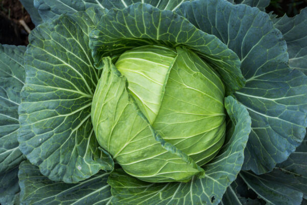 A Golden Acre Cabbage with light green leaves in the centre fanning our with its lovely darker green leaves.
