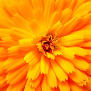 Golden Emperor Calendula close up of the orange flower