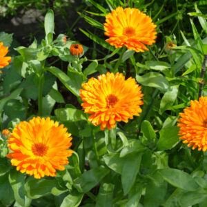 Calendula with its bright orange flowers in the garden