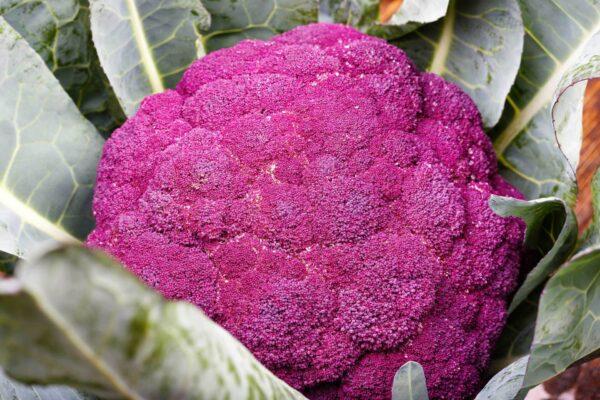 Cauliflower Purple Sicily up close