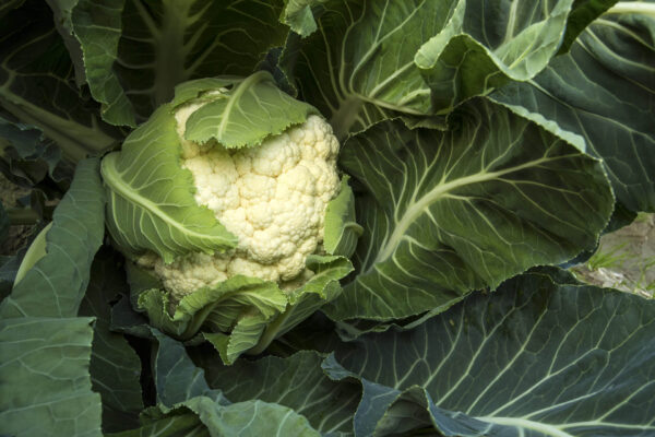 Close up of Snowball Cauliflower with leaves over part of head