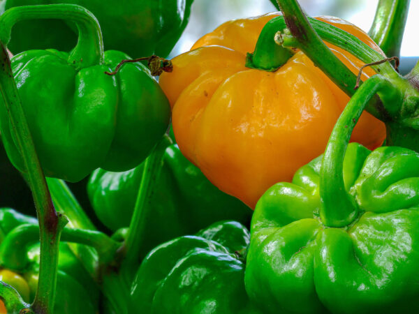 Green and Orange Scotch Bonnet Chillies on the vine