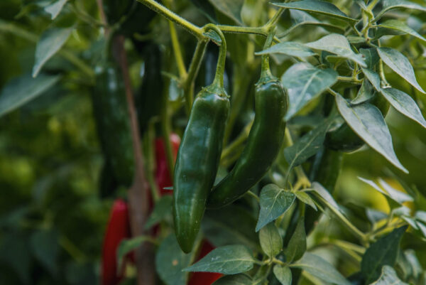 Serrano Chillis on the bush.