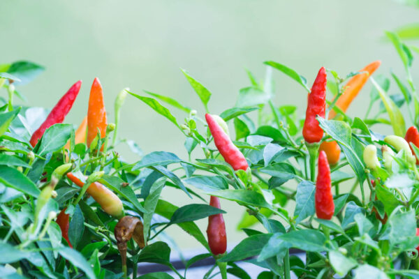 colourful hot thai chilli on the plant
