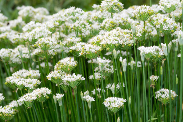 a bed of garlic chives with their prolific white flowers all open