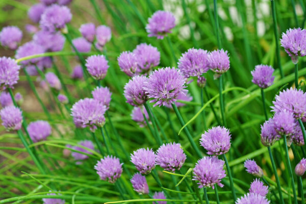 Chives with purple flowers in a garden