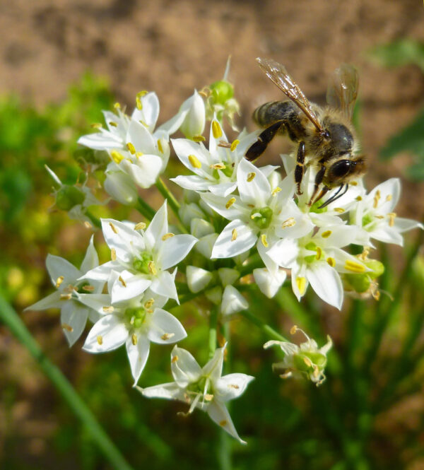 Close up of new belt chives with a bee on one of the flowers