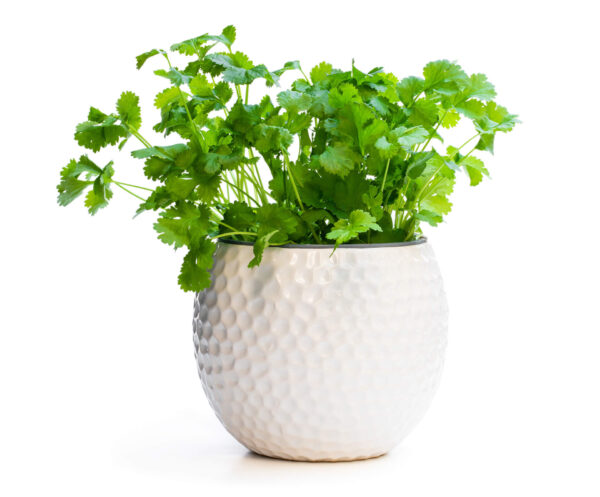 This Pot Selection Coriander plant in a beautiful white pot