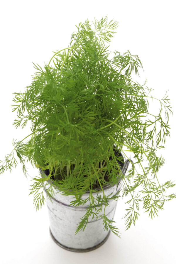 A Compatto Dill plant in a metal pot on a white background