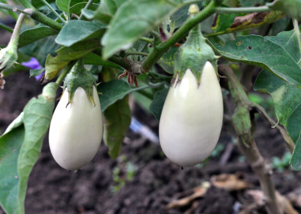 Two Casper eggplants hanging from the bush with the ground as background