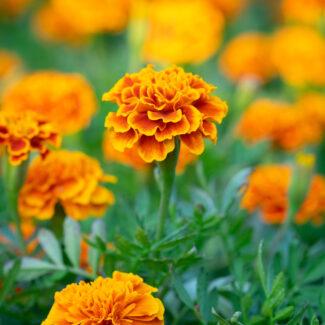Closeup of orange Marigold's in flower