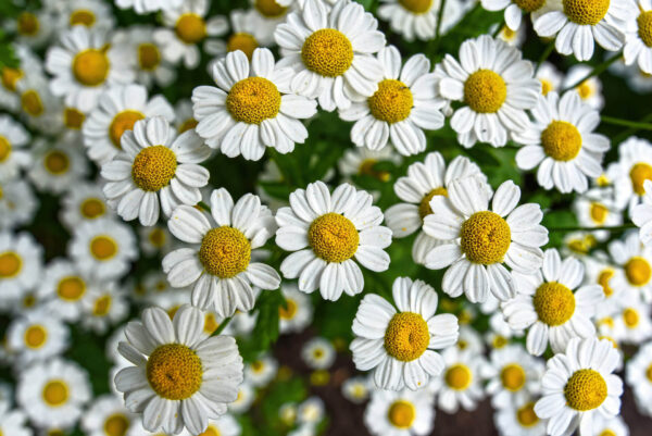 Close up of hundreds of feverfew flowers planted en masse