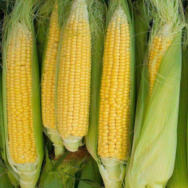 Golden Bantam Corn