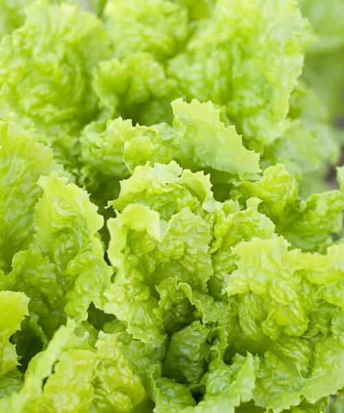 Australian Yellow leaf lettuce