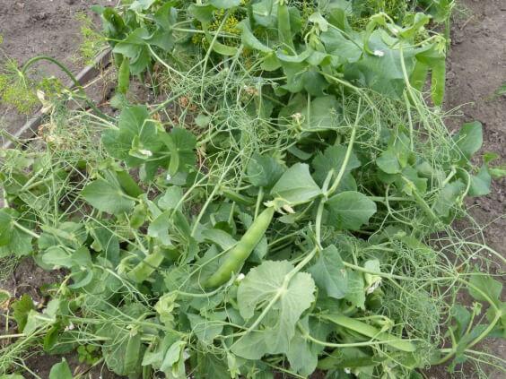 Novella Leafless Peas on the vine