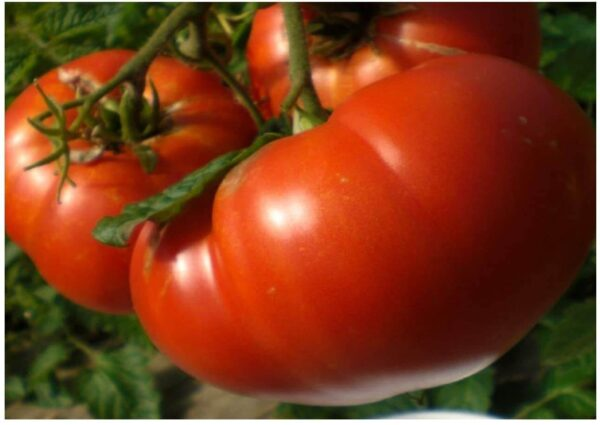 Mortgage Lifter tomatos on the vine showing it huge size