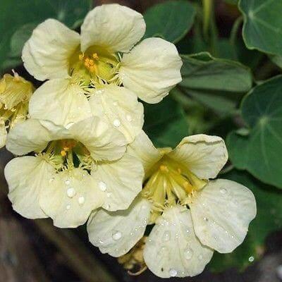 Yeti Cream nasturtiums in a pot