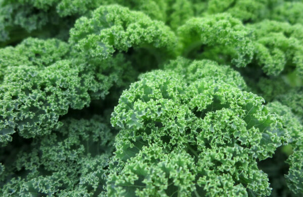 Dwarf Green Kale up close with fluffy green leaves