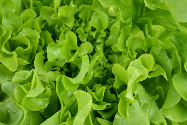 Lots of Green Salad Bowl lettuce in the garden ready to be picked