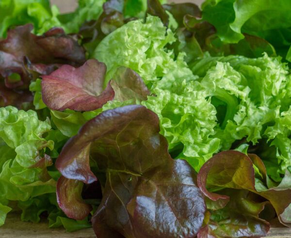 Lettuce Loose Leaf Mix in the garden ready to be picked