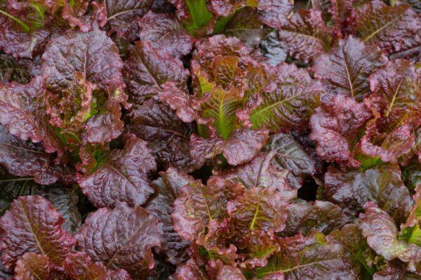 Close up of Oakleaf Red Lettuce in the garden