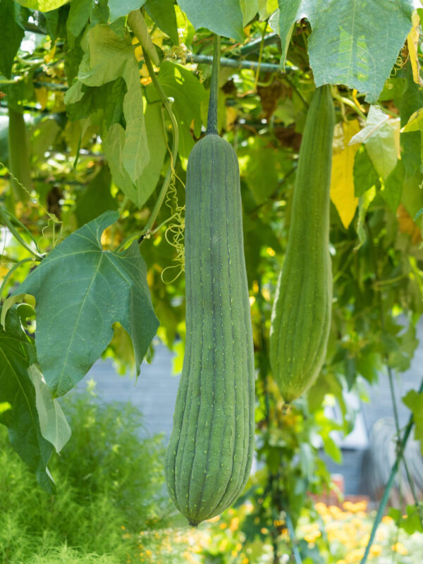 Large luffa hanging from its green vine