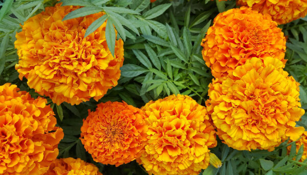 Crackerjack Marigolds in the garden with their yellow and orange large flowers
