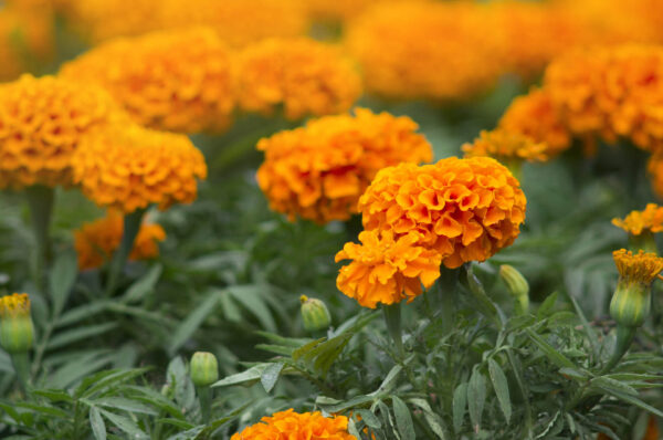 Hawaii Marigolds in the garden with their orange flowers facing the sun
