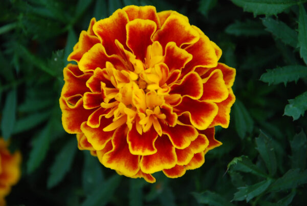 one large honeycomb marigold flower head