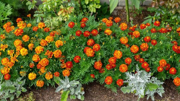 Honeycomb marigolds in a row