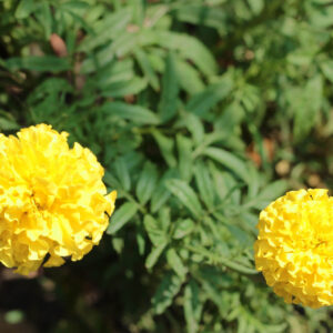 little lemon drop flowers on a marigold bush