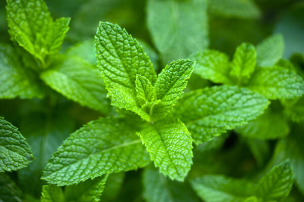 The greenest of Spearmint leaves in the garden ready to be picked