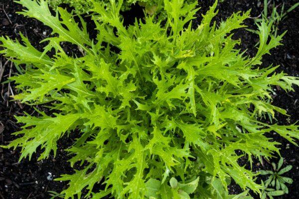 Close up image of the Mizuna plant still in the garden