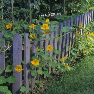 Gleam Golden Nasturtiums growing on a purple fence