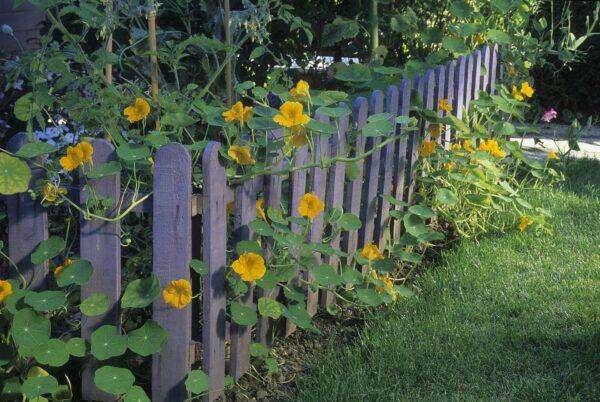 Gleam Golden Nasturtiums growing on a purple fence