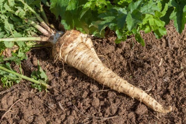 Hallow Crown Parsnip sitting on the garden dirt