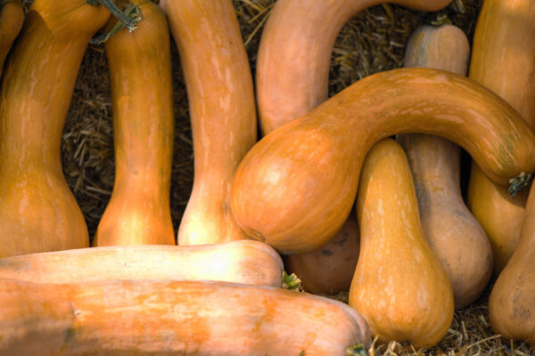 a group of Crookneck pumpkins laying together