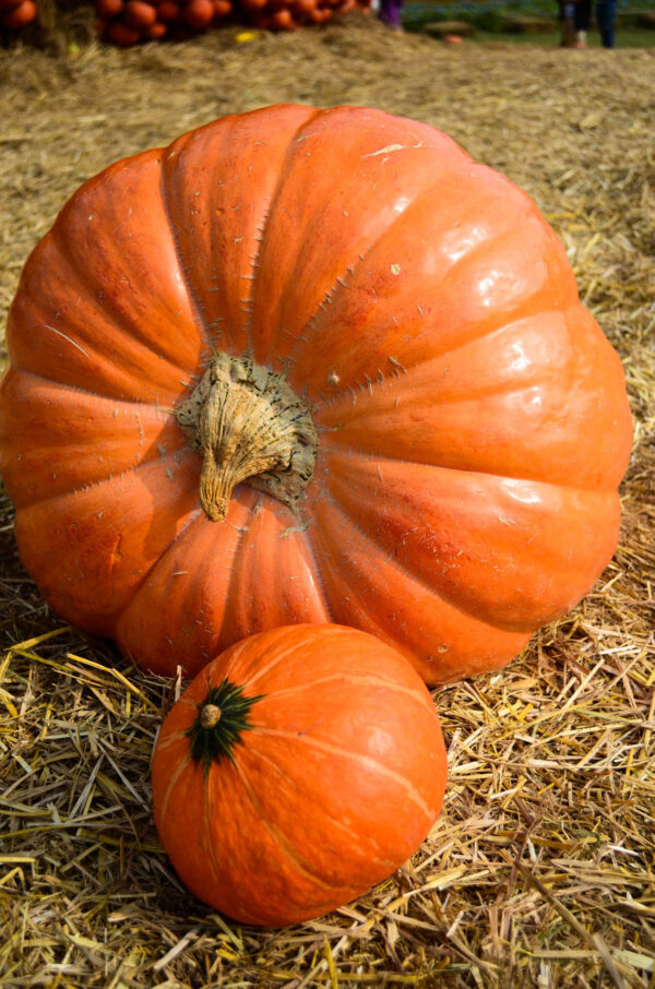 Dills Atlantic Gigantic Pumpkin with its smaller cousin in front of it