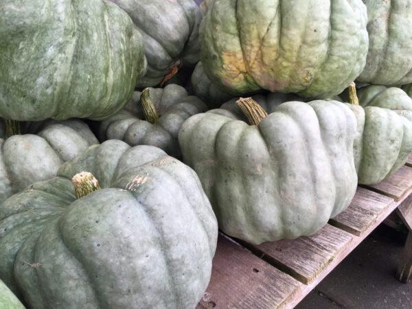 A great big pile of Jarrahdale pumpkins on a shelf