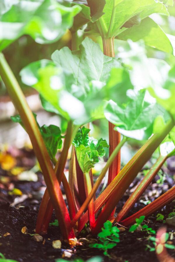 Stalks of Glaskins Perpetual Rhubarb still in the garden