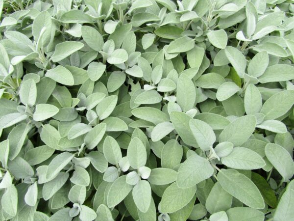 Stunning light green-grey Sage leaves on the plant