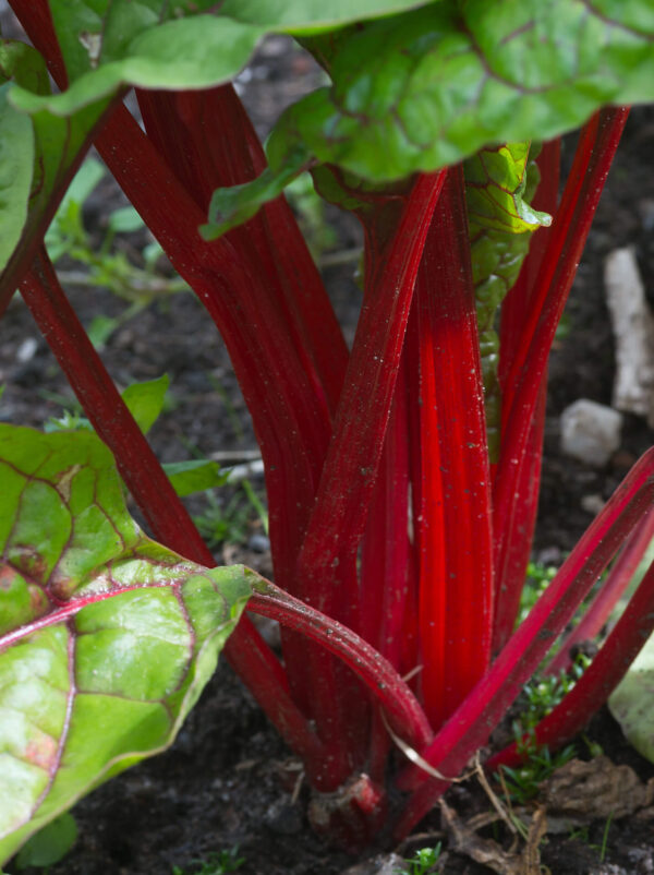Close up of Chard Ruby silverbeet stems growing from the ground