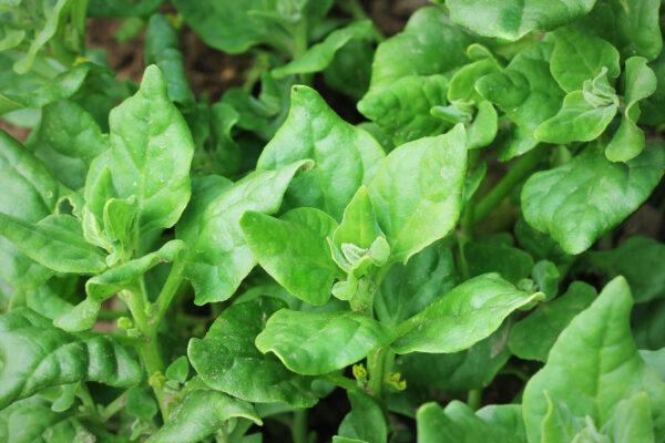 Warrigal Greens growing in the garden