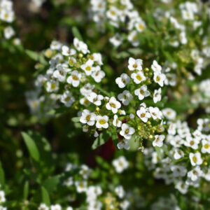 Close up of Snow Cloth Sweet Alyssum with its tiny white flowers all over the stalk
