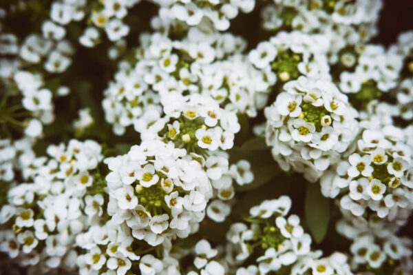White Snow Cloth Alyssum close up of the tiny flowers